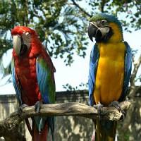 большой попугай Юкатана